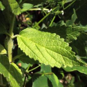 Photographie n°321256 du taxon Melittis melissophyllum L. [1753]