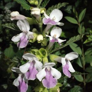 Photographie n°321257 du taxon Melittis melissophyllum L. [1753]