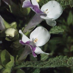 Photographie n°321260 du taxon Melittis melissophyllum L. [1753]