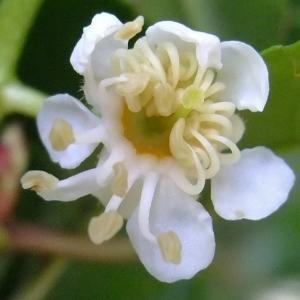 Photographie n°321395 du taxon Prunus lusitanica L. [1753]