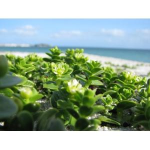 Honckenya peploides (L.) Ehrh. subsp. peploides (Honkénie faux pourpier)