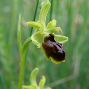 - Ophrys virescens Philippe [1859]