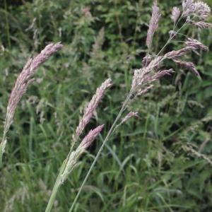 - Holcus lanatus subsp. lanatus