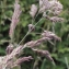 Liliane Roubaudi - Holcus lanatus subsp. lanatus