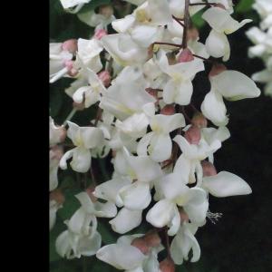 Photographie n°321852 du taxon Robinia pseudoacacia L.