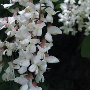 Photographie n°321853 du taxon Robinia pseudoacacia L.