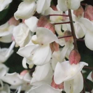 Photographie n°321855 du taxon Robinia pseudoacacia L.
