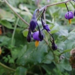 Photographie n°322158 du taxon Solanum dulcamara var. marinum Bab. [1843]