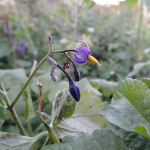 Photographie n°322159 du taxon Solanum dulcamara var. marinum Bab. [1843]