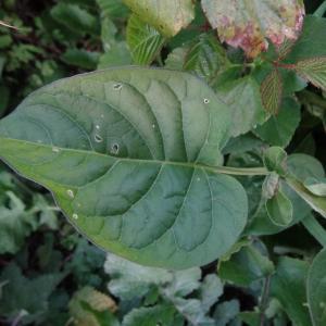 - Solanum dulcamara var. marinum Bab. [1843]