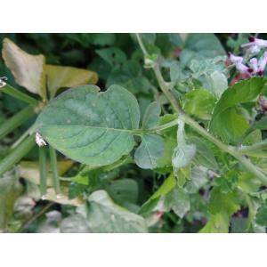 Solanum dulcamara var. marinum Bab. (Douce-amère marine)