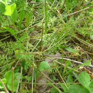 Photographie n°322288 du taxon Scandix pecten-veneris subsp. hispanica (Boiss.) Bonnier & Layens [1894]