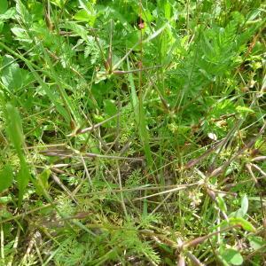 - Scandix pecten-veneris subsp. hispanica (Boiss.) Bonnier & Layens [1894]