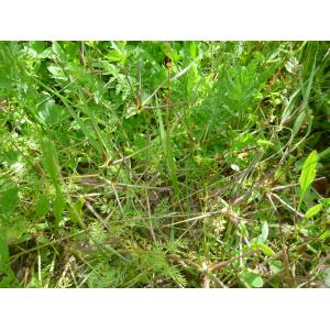 Scandix pecten-veneris subsp. hispanica (Boiss.) Bonnier & Layens (Scandix d'Espagne)