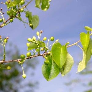 Photographie n°322691 du taxon Prunus mahaleb L.