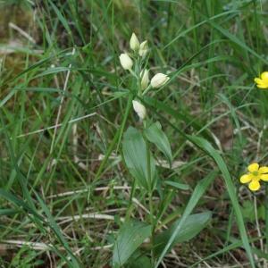 Photographie n°323394 du taxon Cephalanthera damasonium (Mill.) Druce [1906]