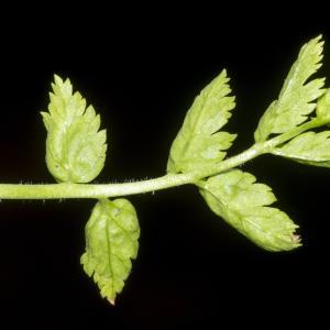 Photographie n°323665 du taxon Erodium moschatum (L.) L'Hér. [1789]