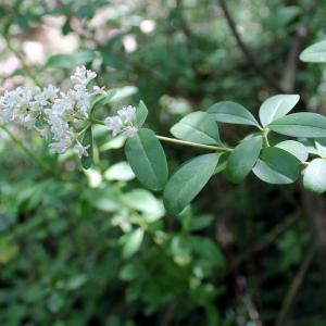 Photographie n°323678 du taxon Ligustrum vulgare L. [1753]