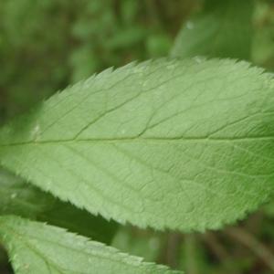 Photographie n°323994 du taxon Prunus cerasifera Ehrh.