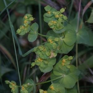 Photographie n°324586 du taxon Euphorbia peplus L. [1753]
