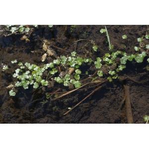 Hydrocotyle ranunculoides L.f. (Hydrocotyle à feuilles de renoncule)