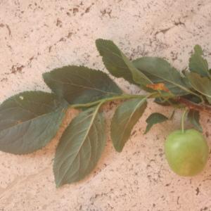 Photographie n°326207 du taxon Prunus cerasifera Ehrh.