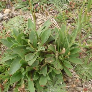 Photographie n°327136 du taxon Limonium dodartii (Girard) Kuntze