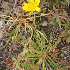 Scorzoneroides autumnalis (image CeL)