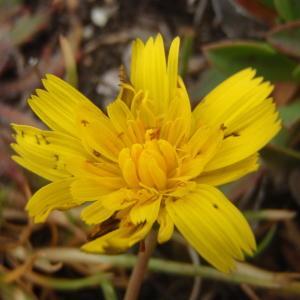 Photographie n°327170 du taxon Scorzoneroides autumnalis (L.) Moench [1794]