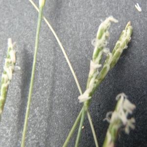 Photographie n°327356 du taxon Mibora minima (L.) Desv.