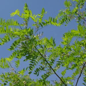 Photographie n°328188 du taxon Robinia pseudoacacia L.