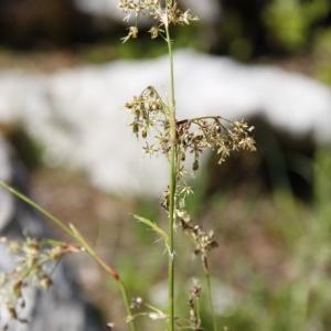 Photographie n°328896 du taxon Cyperaceae