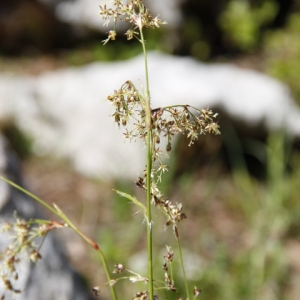 Photographie n°328897 du taxon Cyperaceae