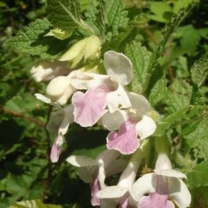 Photographie n°329141 du taxon Melittis melissophyllum L. [1753]