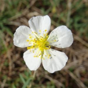 - Helianthemum apenninum subsp. apenninum