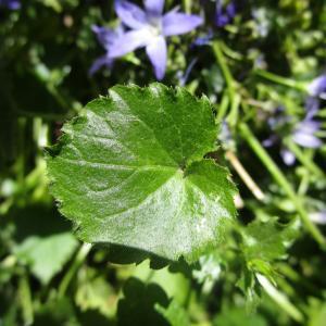 - Campanulaceae