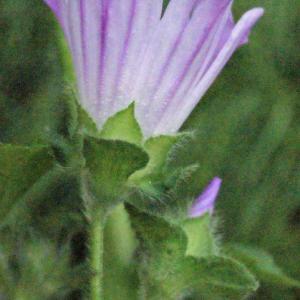 Photographie n°329645 du taxon Lavatera cretica L. [1753]