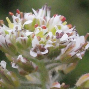 - Lepidium heterophyllum Benth.