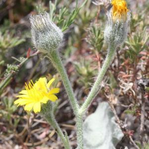 Photographie n°329829 du taxon Hieracium tomentosum L. [1755]