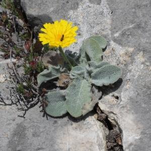 Photographie n°329832 du taxon Hieracium tomentosum L. [1755]
