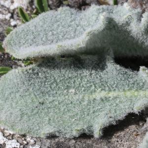 Photographie n°329837 du taxon Hieracium tomentosum L. [1755]