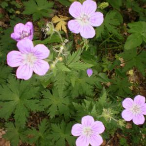 Photographie n°330009 du taxon Geranium sylvaticum subsp. sylvaticum