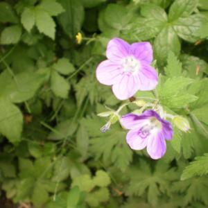 Photographie n°330010 du taxon Geranium sylvaticum subsp. sylvaticum