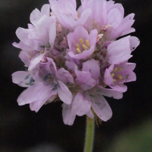 Armeria maritima Willd. (Arméria maritime)