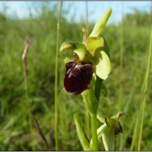 Ophrys aranifera Huds. subsp. aranifera (Ophrys araignée)