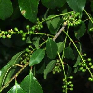 Photographie n°330763 du taxon Prunus serotina Ehrh. [1784]