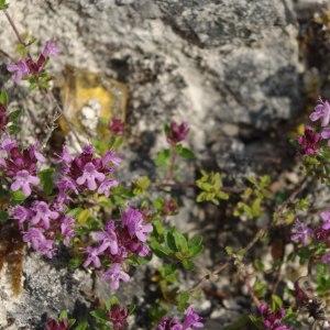 Photographie n°330767 du taxon Thymus praecox subsp. praecox