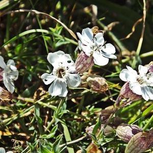 Photographie n°330811 du taxon Silene uniflora subsp. uniflora