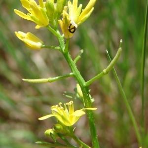 - Sisymbrella aspera (L.) Spach [1838]