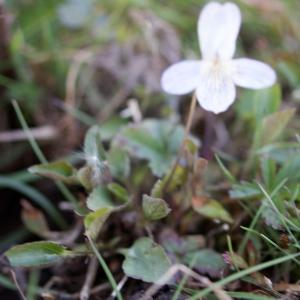 Photographie n°331070 du taxon Viola lactea Sm. [1798]